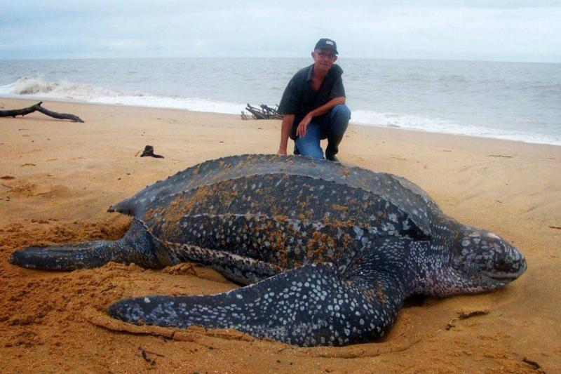 Reuze-schildpad-giant-turtle-on-Galibi-Beach-Surinam-schildpad-Bigtortoisebabyturtles-Surinamejungle-41521