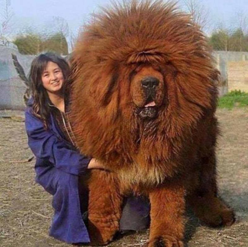 big-fluffy-dog-87918