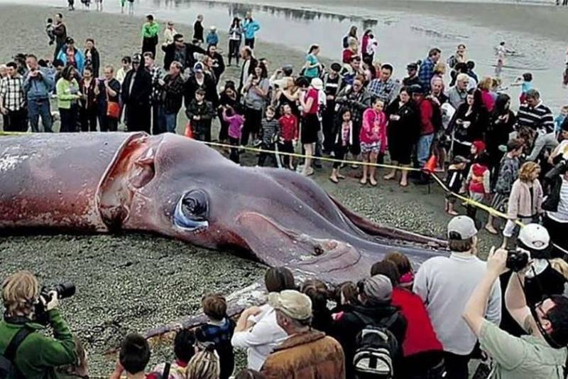 giant-squid-60439