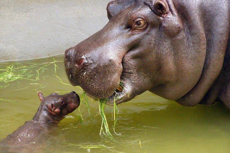 hippo-mama-baby-69526