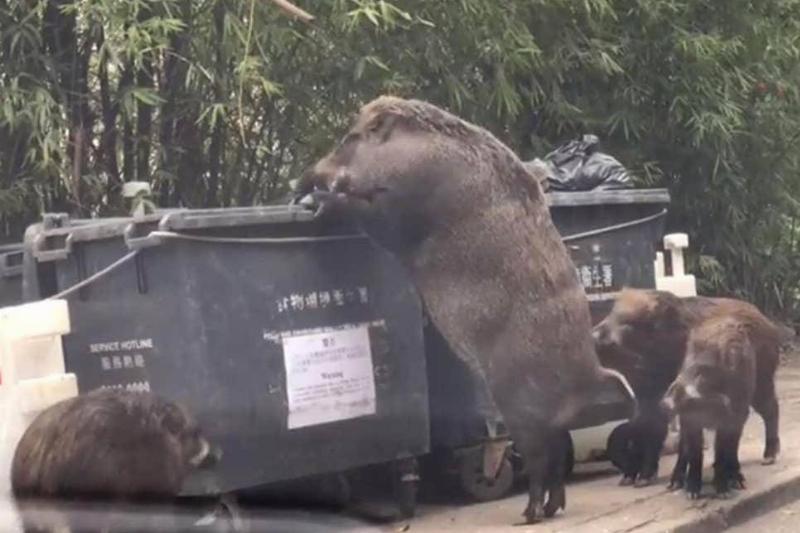 wild-boar-large-79018